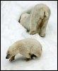 Ours polaires sur la banquise arctique (© AFP/Archives - Maxim Marmur)