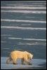 Un ours polaire près de Churchil au Canada (© AFP/Archives - Paul J. Richards)
