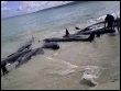 Baleines échouées le 23 mars 2009 à