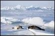 Des phoques sur un iceberg dans le golfe du Saint-Laurent, au Canada, en mars 2008 (© AFP/Getty Images/archives - Joe Raedle)