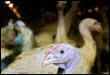 Des dindes confinées le 16 février 2006 à Chatillon-sur-Loire (© AFP/Archives - Alain Jocard)